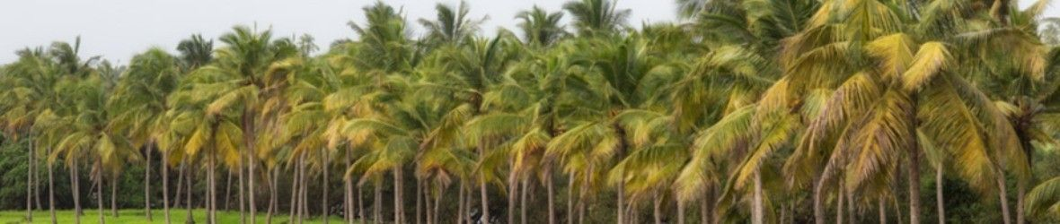 Coconut Orchard
