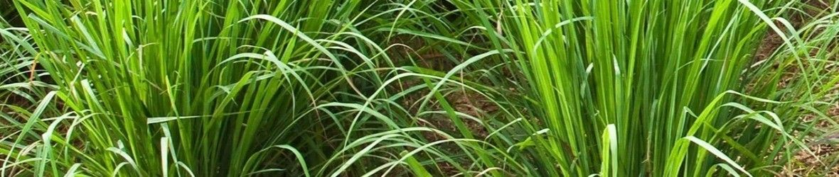 Vetiver Seedlings